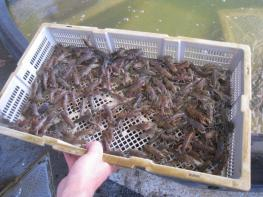 8 Bait Yabbies